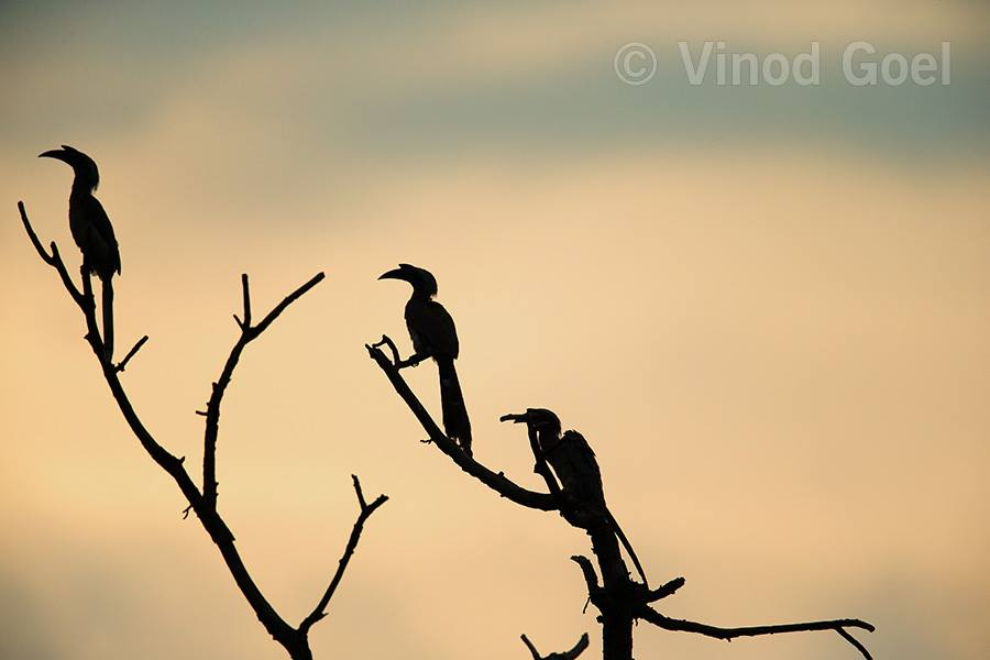 Indian Grey Hornbills at Delhi