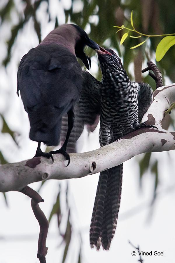 House Crow Feeding Koel Chick at Delhi