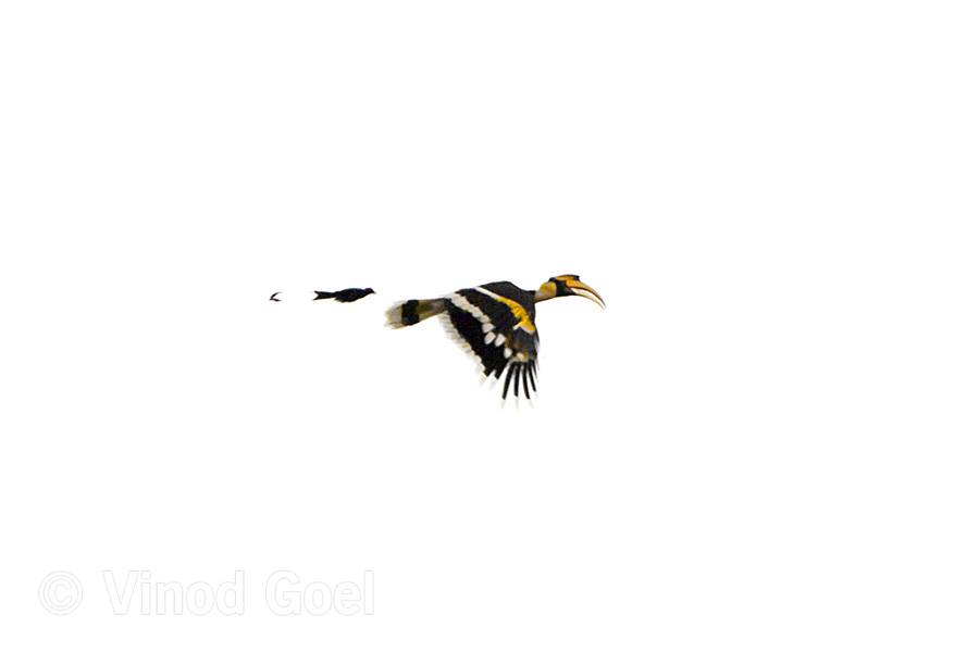 Indian Great Hornbill chased by a Greater Racket tailed Drongo at Dudhwa