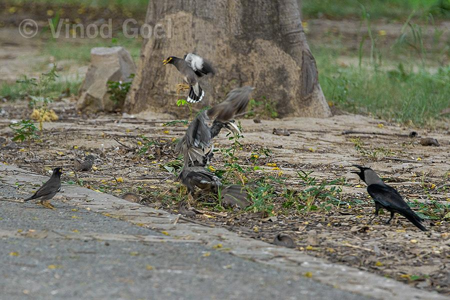 Indian Grey Hornbill Fight at Delhi
