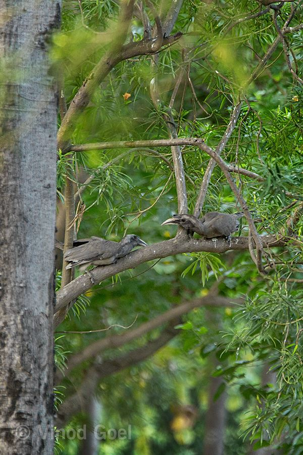 Indian Grey Hornbill Fight at Delhi3