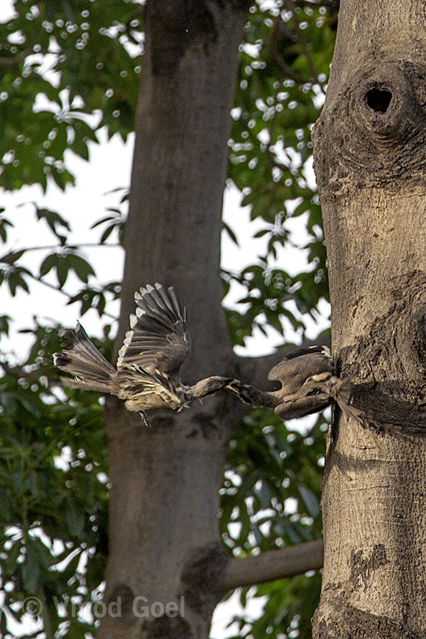 Indian Grey Hornbill Fight2