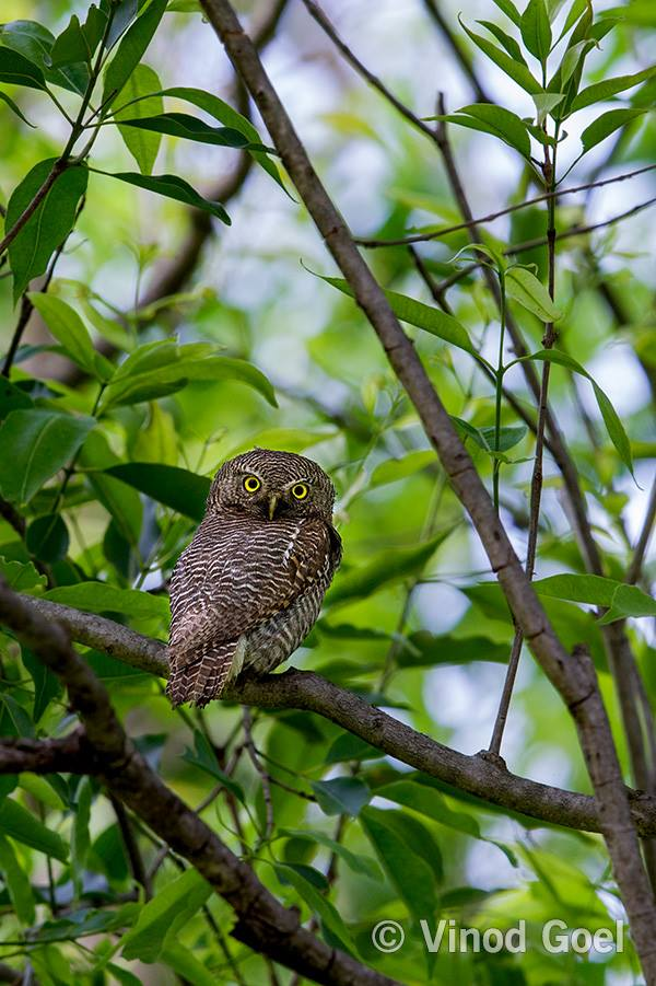 Jungle Owlet at Rajaji