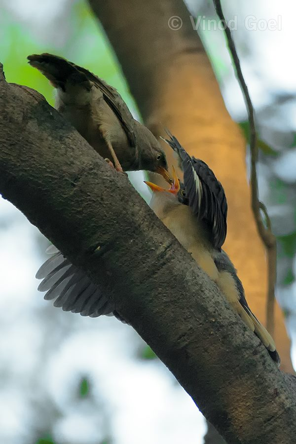 Jungle babbler feeding the pied Crested Cuckoo chick at Delhi