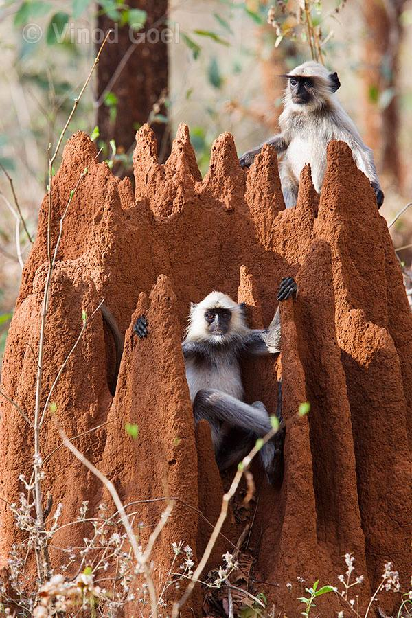 Langu monkey sitting on the ant hill like a king at Nagzira