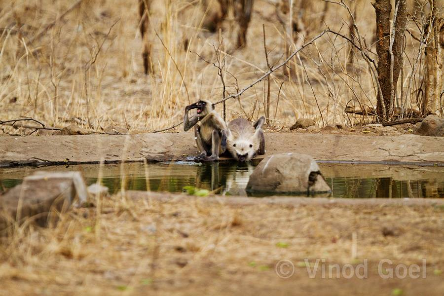 Langur Monkey Drinking Water at Tadoba Andhari Tiger Reserve