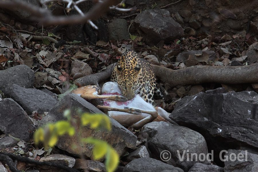 Leopard with kill at Ranthambore Tiger Reserve