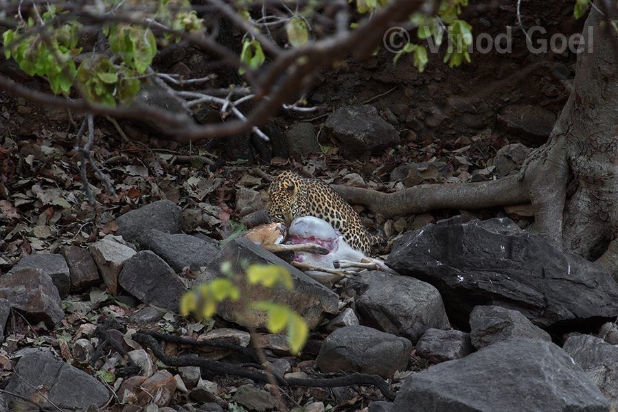 Leopard with kill at Ranthambore Tiger Reserve1
