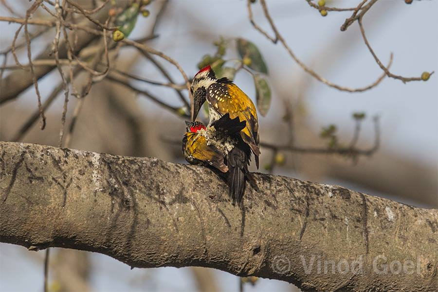 Lesser Flame Backed Woodpecker Mating at Delhi1