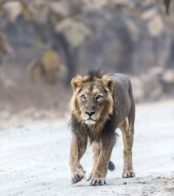 Asiatic Lion at Gir National Park