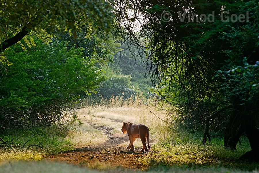 Lioness at Gir National Park