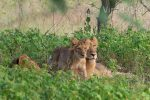 Lioness with cubs at Gir National park