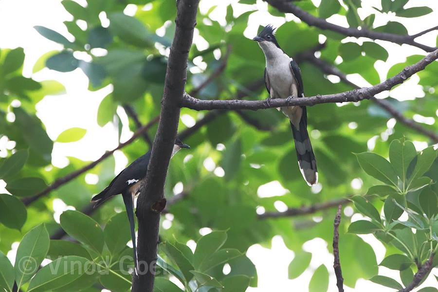 Male and Female Pied Crested Cuckoo just before mating at Delhi