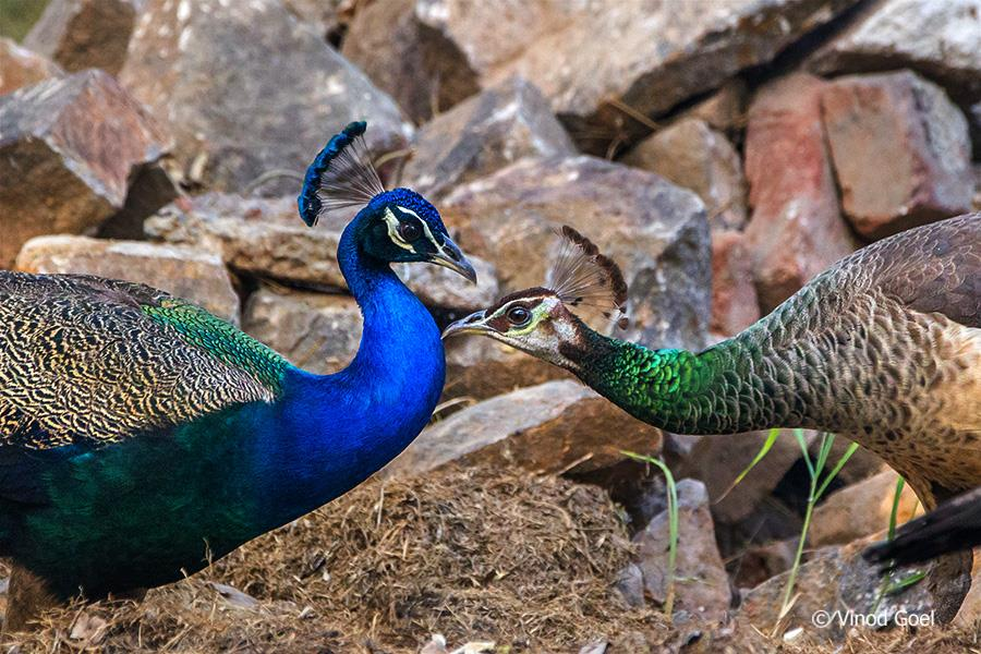 Peacock Courtship at Delhi