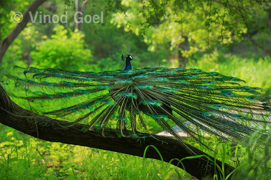 Peacock showing feather at Delhi1