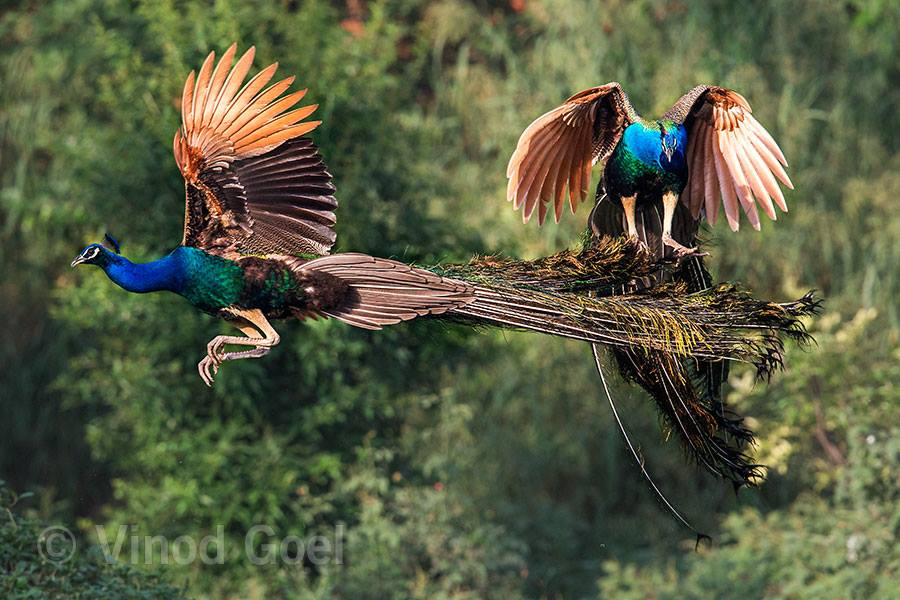 Peacock Fight at Delhi1