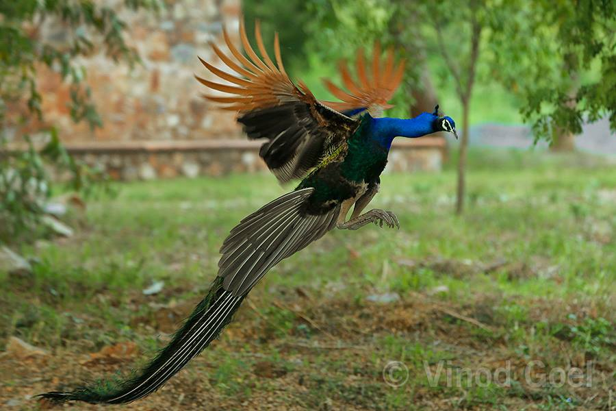 Peacock Flight at Delhi