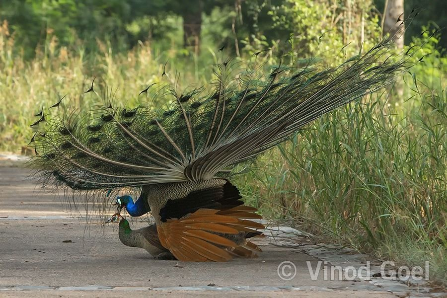 Peacock and Peahen Mating at Delhi