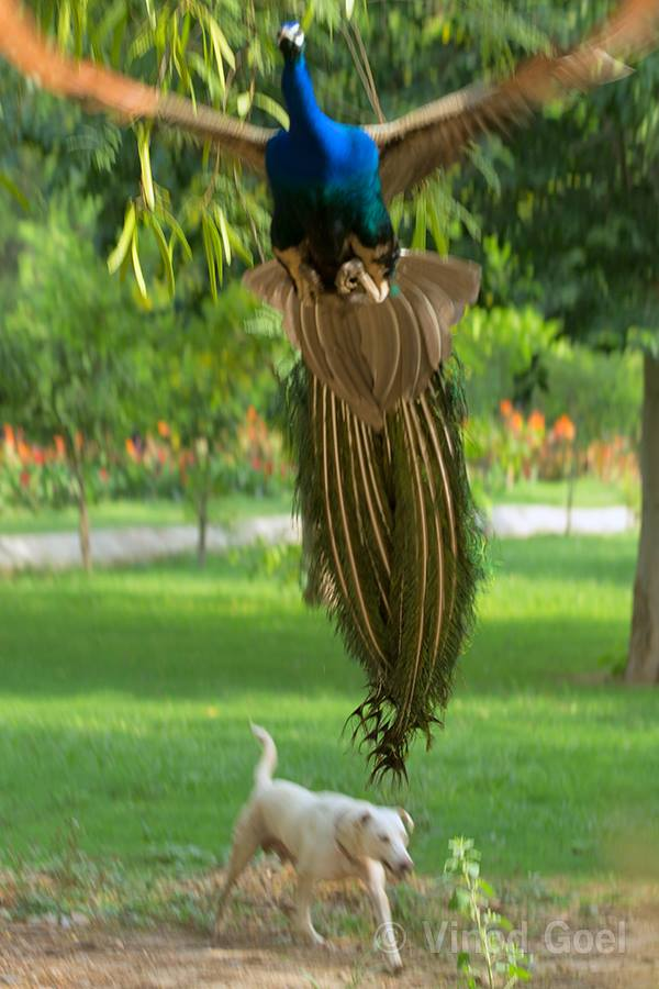 Peacock flight over dog at Delhi