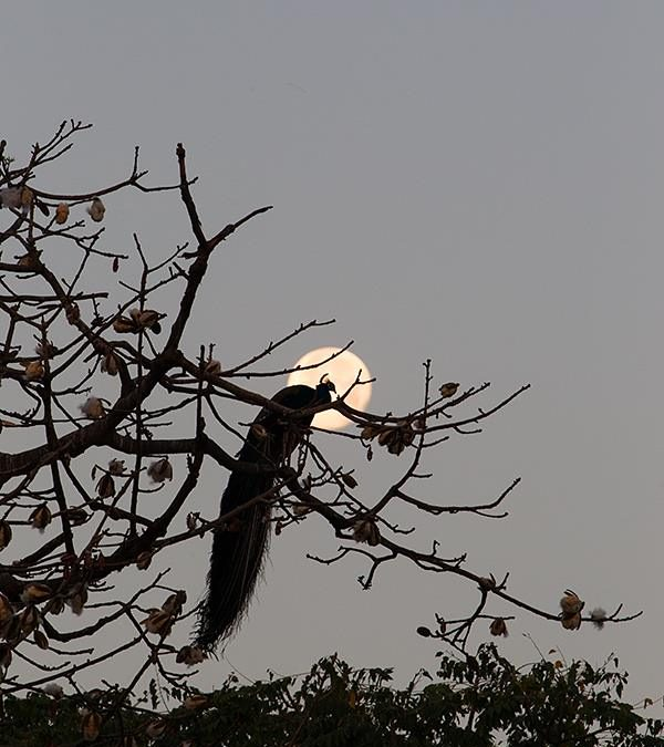 Peacock in the Moon at Delhi
