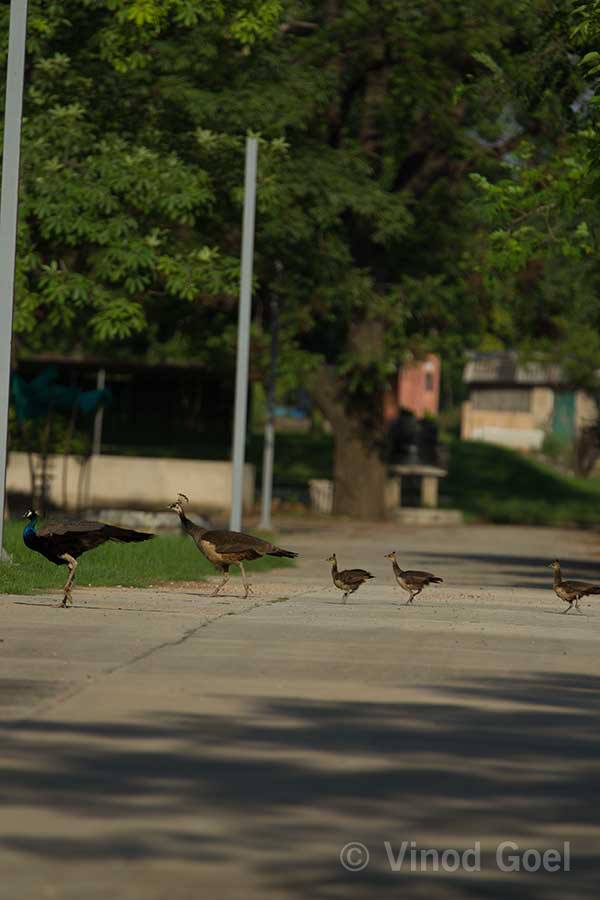 Peacock with Peahen and 3 Chicks at Delhi