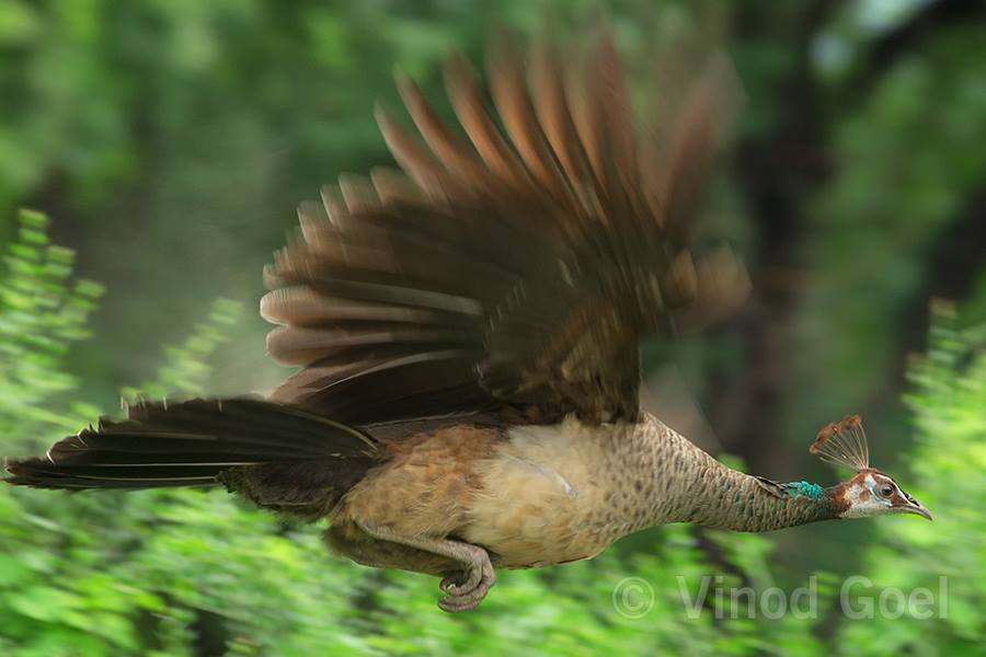 Peahen Flight at Delhi