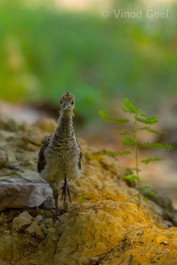Peahen chick at Delhi