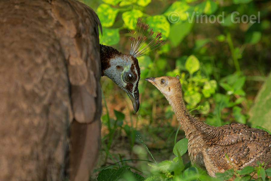 Peahen with chick at Delhi