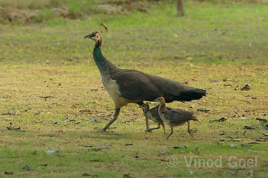 Peahen with two chicks at Delhi
