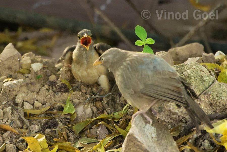 Pied Crested Chick asking for food from host parent jungle babbler at Delhi