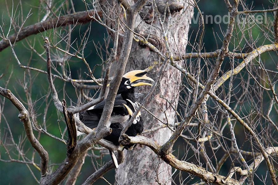 Pied Hornbill at Rajaji National Park