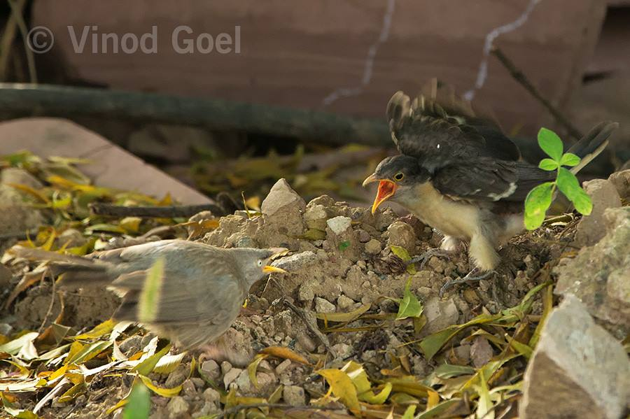 Pied crested chick asking for food from the foster parent namely jungle babbler at Delhi