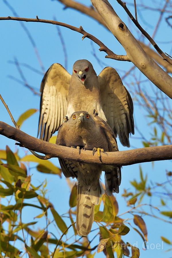 Shikra Mating at Delhi