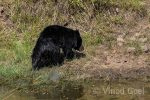 Sloth Bear at Tadoba Andhari Tiger Reserve