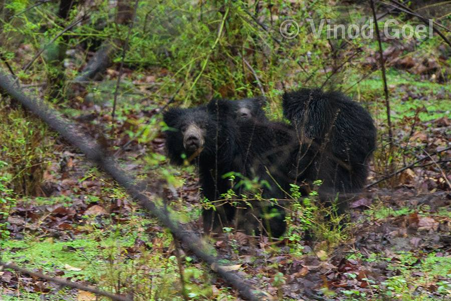 Sloth Bear at Bandhavgarh National Park