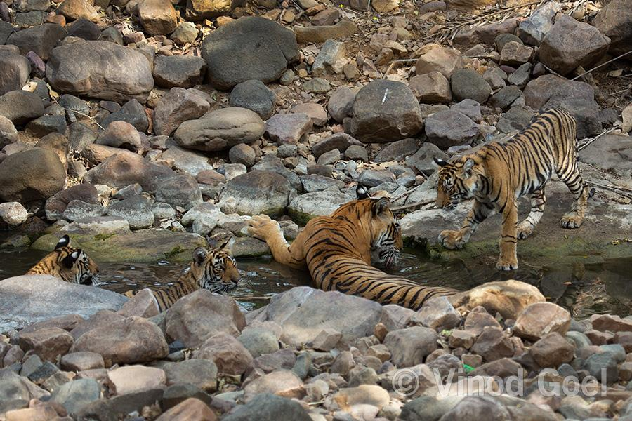 T 39 Noor tigress with her family at Ranthambore Tiger Reserve