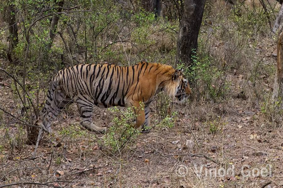 T 57 the tiger at Ranthambore Tiger Reserve