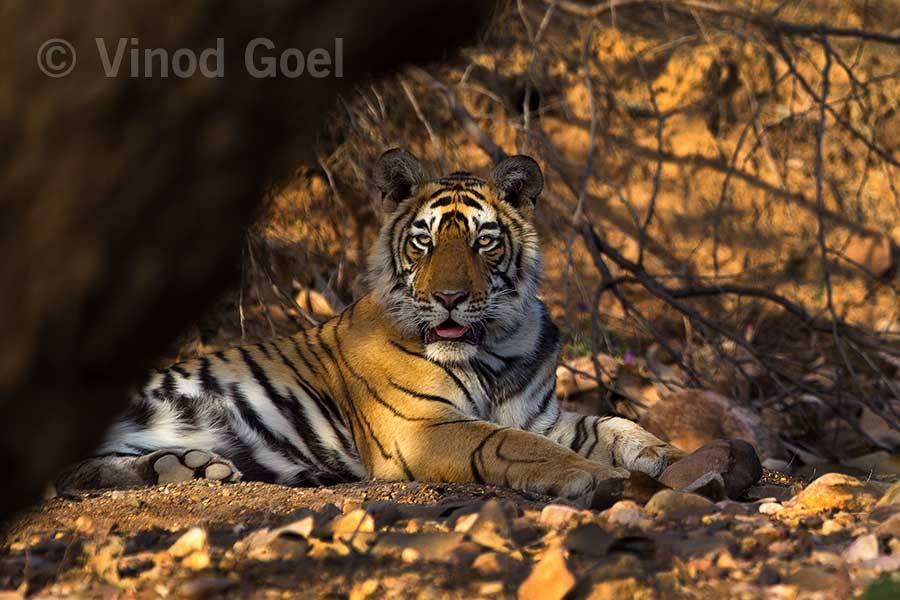 Tiger cub at Ranthambore Tiger Reserve