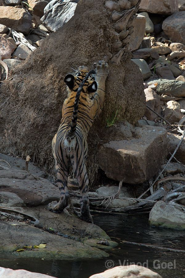 Tiger cub playing at Ranthambore Tiger Reserve