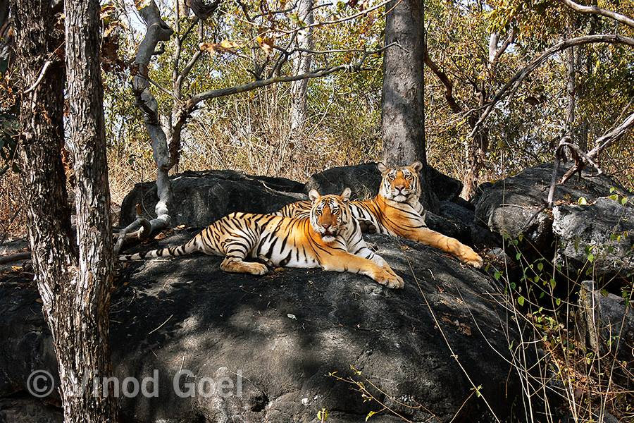 Tiger cubs at Pench Tiger Reserve