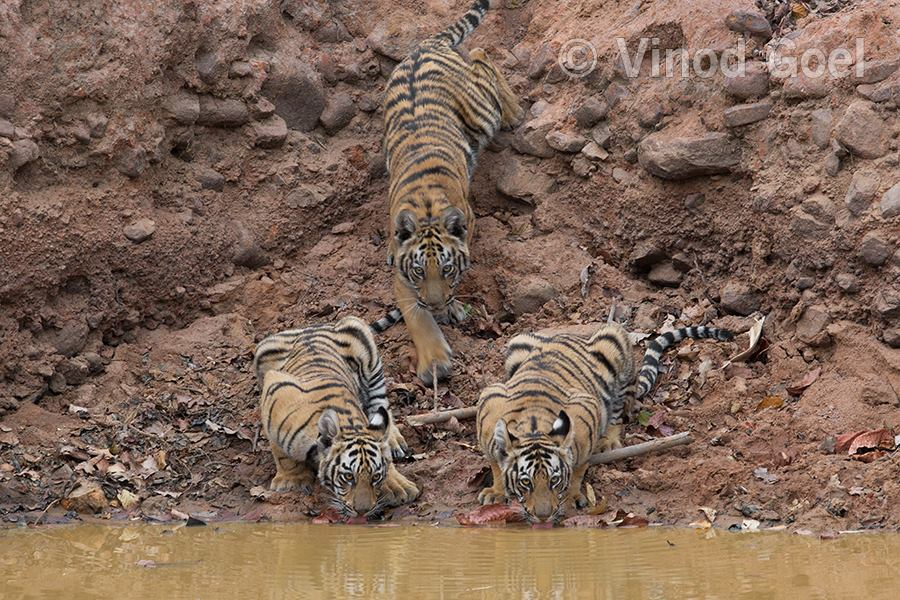 Tiger cubs at a water hole at Tadoba Andhari Tiger Reserve