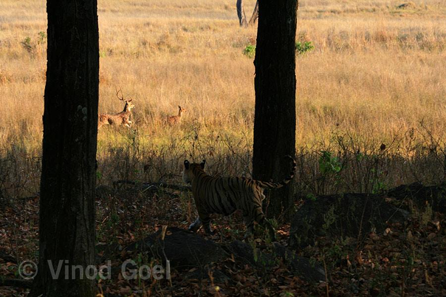 Tiger with Spotted Deer at Kanha Tiger Reserve
