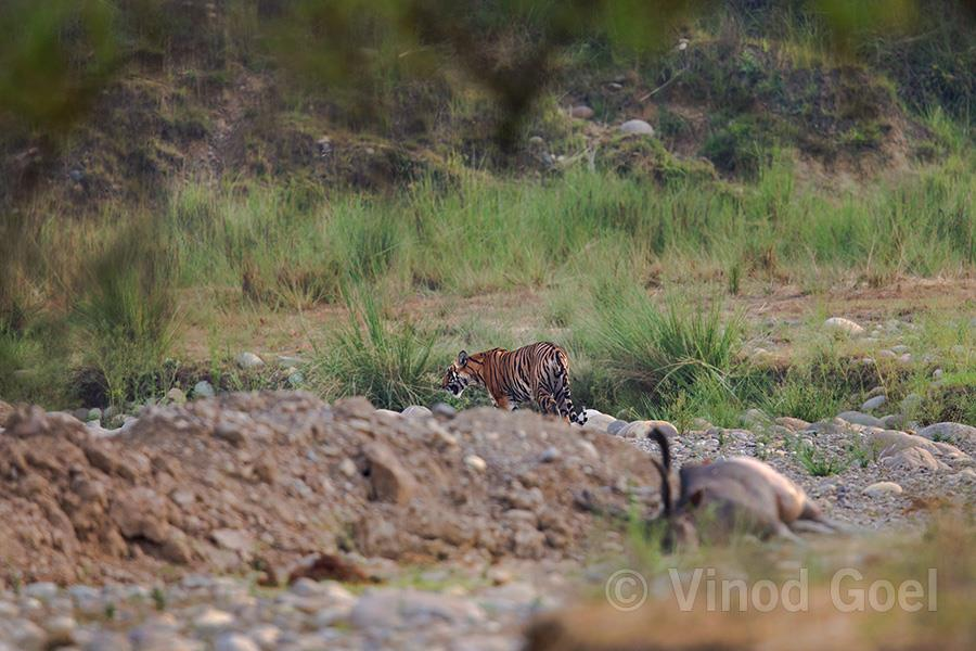 Tigeress & Kill at Rajaji National Park