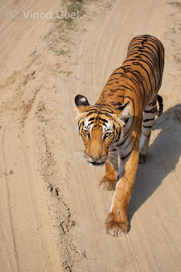 Tigress staring at Corbett Tiger Reserve