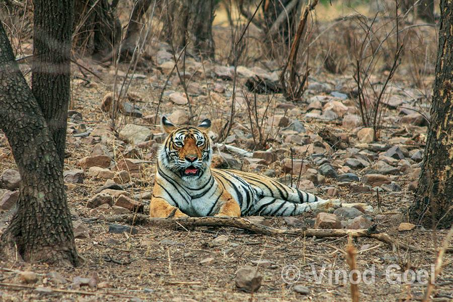 Tigress Machhali at Ranthambore Tiger Reserve