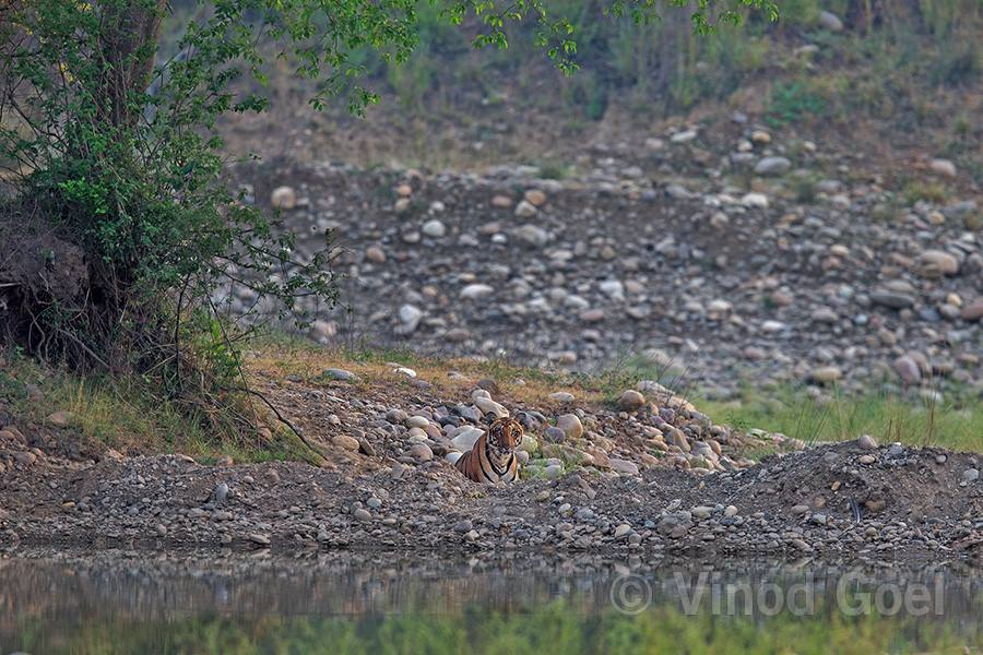 Tigress at Rajaji National Park