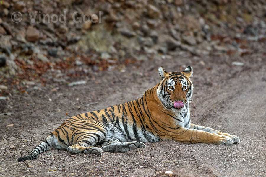 Tigress at Ranthambore Tiger Reserve