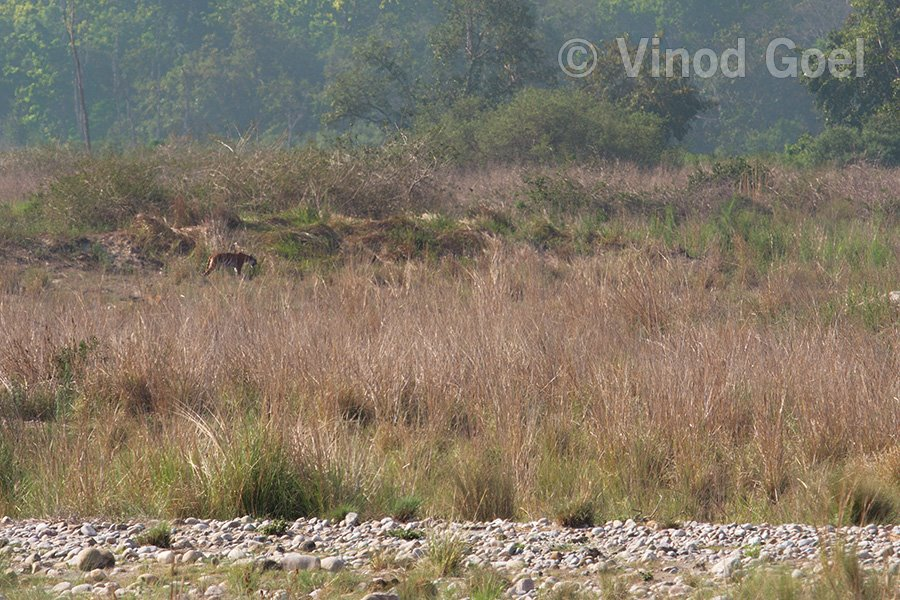 Tigress in habitat at Corbett Tiger Reserve