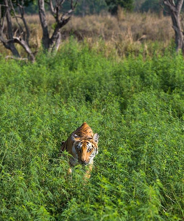 Tigress in the greens at Corbett Tiger Reserve