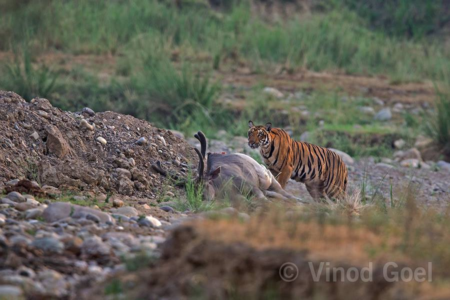 Tigress with Kill at Rajaji National Park
